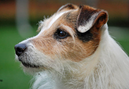 Bear the Jack Russell Terrier Pictures 1042135