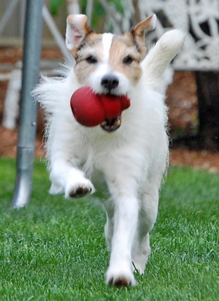 Bear the Jack Russell Terrier Pictures 1042137