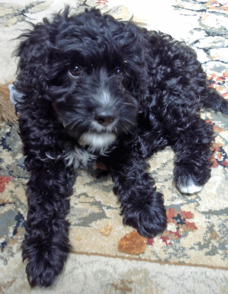Bear the Poodle Mix Pictures 1023312