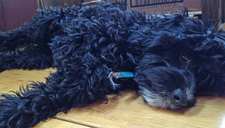 Types Of Poodle Breeds Dog Care Daily Puppy