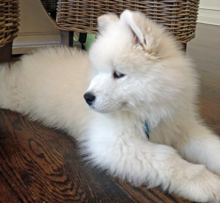 Bear the Samoyed Pictures 971710