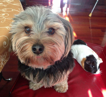 Bear the Yorkshire Terrier Pictures 1013436