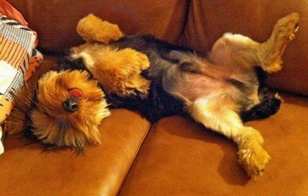 Bear the Yorkshire Terrier Pictures 1013437