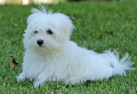 Beau the Maltese  Pictures 979312