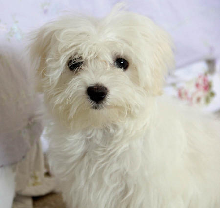 Beau the Maltese  Pictures 979308