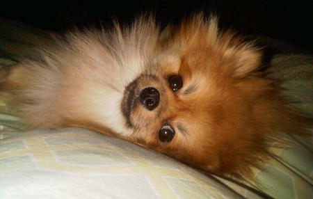 Beaureguard the Pomeranian Pictures 595086