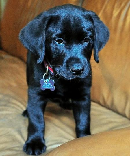 Beauty the Labrador Retriever Pictures 537892