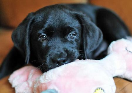 Beauty the Labrador Retriever Pictures 537893