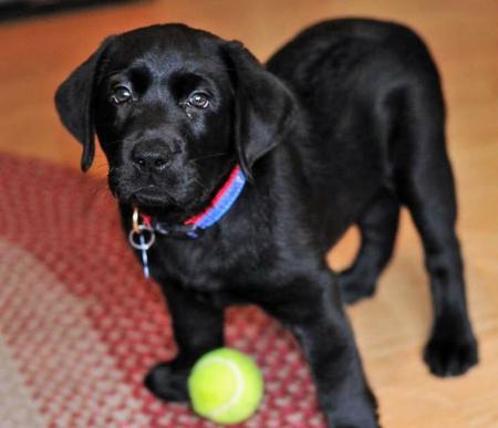 Beauty the Labrador Retriever Pictures 537895