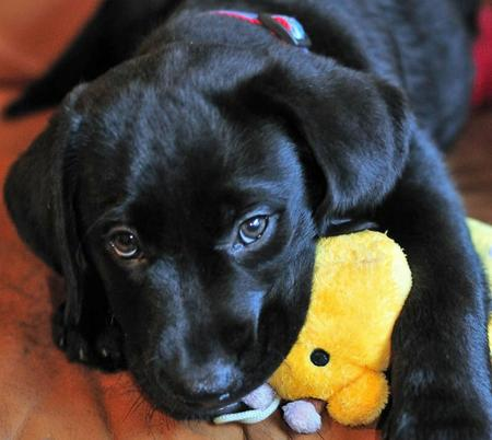 Beauty the Labrador Retriever Pictures 537896