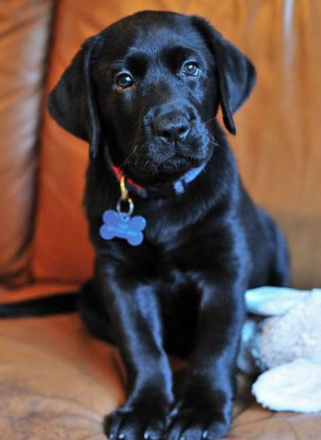 Beauty the Labrador Retriever Pictures 537897