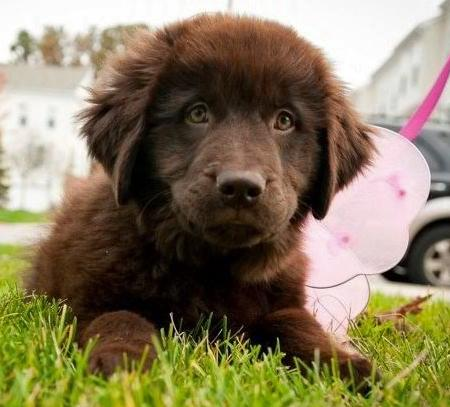Bella Bear the Newfoundland Pictures 872408