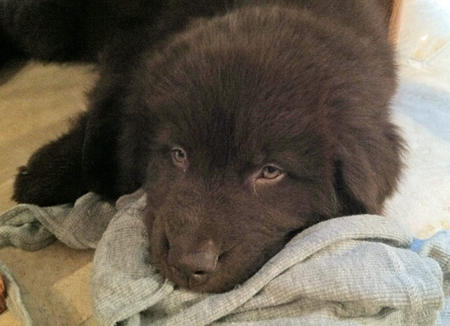 Bella Bear the Newfoundland Pictures 872409
