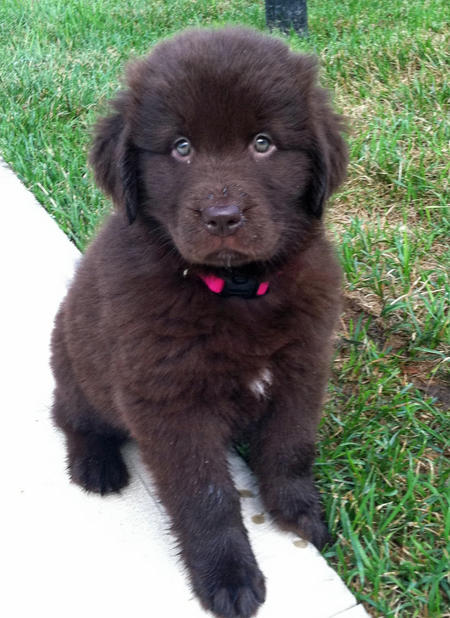 Bella Bear the Newfoundland Pictures 872411