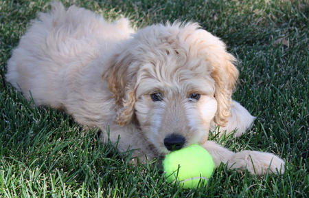 Bella Kai the Goldendoodle Pictures 825756