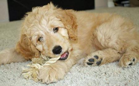 Bella Kai the Goldendoodle Pictures 825752