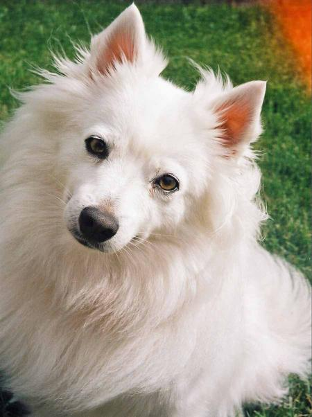 Bella the American Eskimo Dog Pictures 1020505