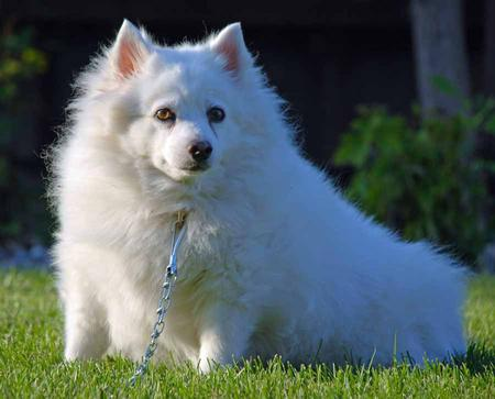 Bella the American Eskimo Dog Pictures 1020506