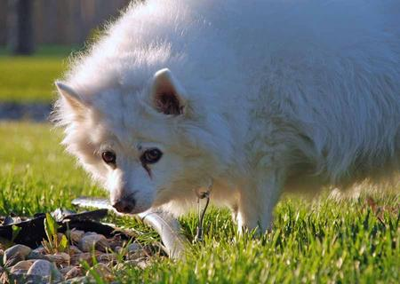 Bella the American Eskimo Dog Pictures 1020507