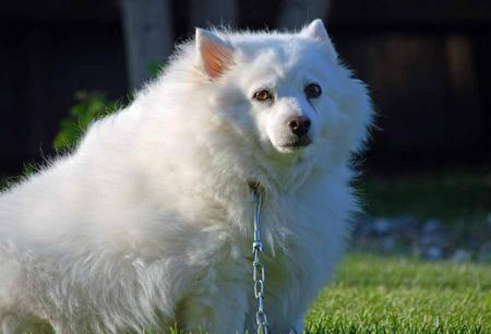 Bella the American Eskimo Dog Pictures 1020509