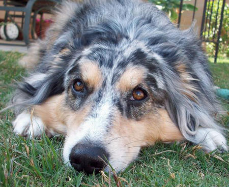 Bella the Australian Shepherd Pictures 433283