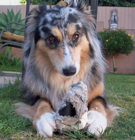 Bella the Australian Shepherd Pictures 433284