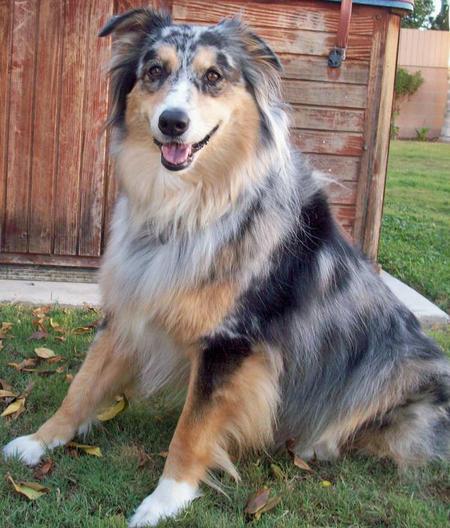 Bella the Australian Shepherd Pictures 433285