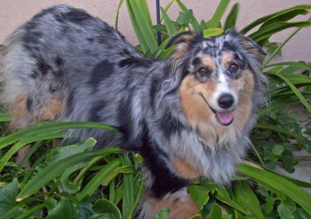 Bella the Australian Shepherd Pictures 433287
