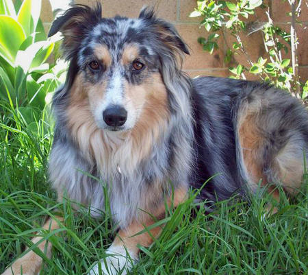 Bella the Australian Shepherd Pictures 433282