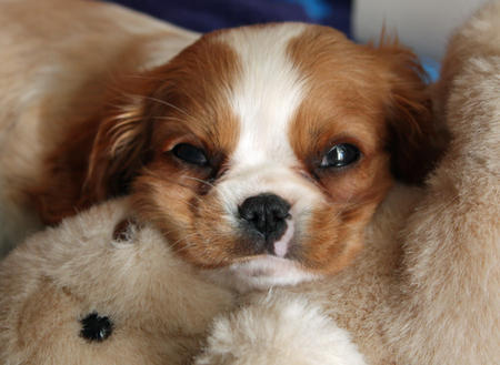 Bella the Cavalier King Charles Spaniel Pictures 406899