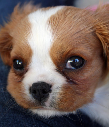 Bella the Cavalier King Charles Spaniel Pictures 406900