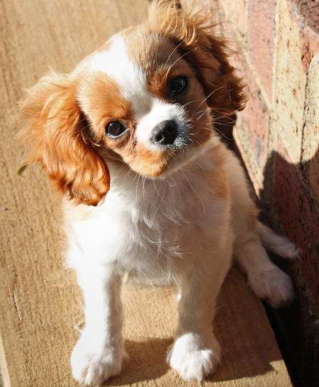 Bella the Cavalier King Charles Spaniel Pictures 406901