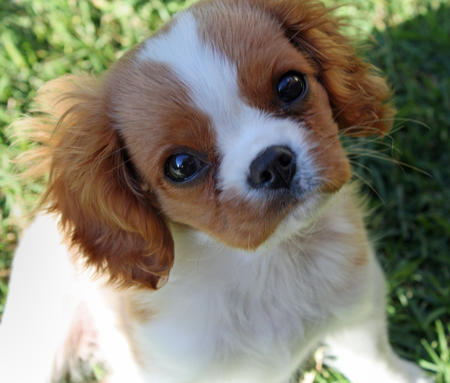 Bella the Cavalier King Charles Spaniel Pictures 406903