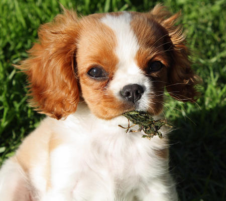 Bella the Cavalier King Charles Spaniel Pictures 406898