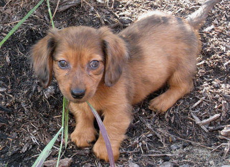 Bella the Dachshund Pictures 484957