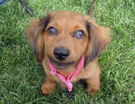 Bella the Dachshund Pictures 484961