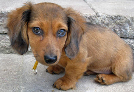 Bella the Dachshund Pictures 484955