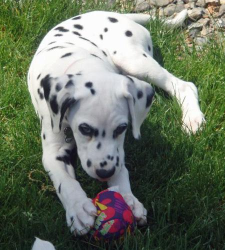 Bella the Dalmatian Pictures 590401