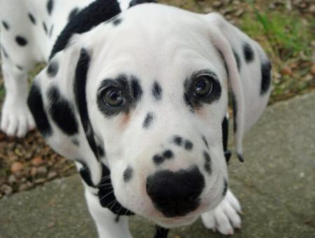 Bella the Dalmatian Pictures 590403