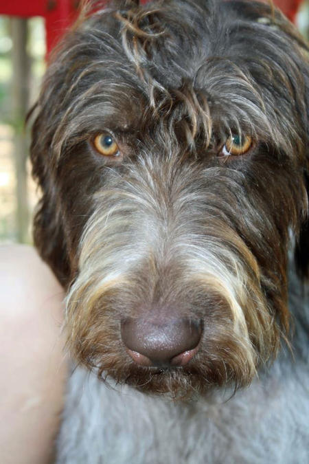 Bella the German Wirehaired Pointer Pictures 988479