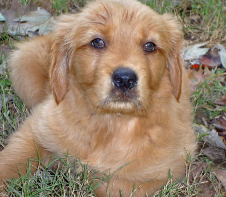 Bella the Golden Retriever Pictures 515534