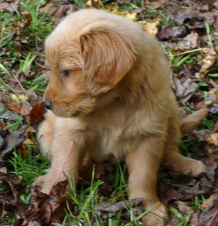 Bella the Golden Retriever Pictures 515535
