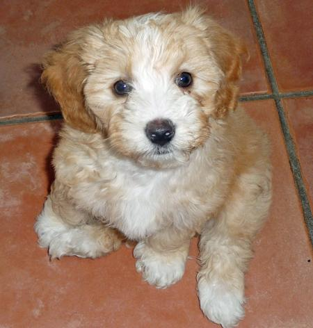 Maltese Puppies For Sale From Reputable Dog Breeders - Hot ...