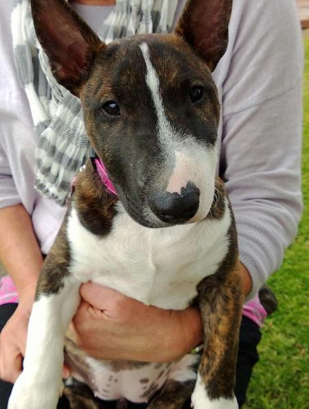 Bella the Miniature Bull Terrier Pictures 1014619