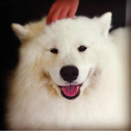 Bella the Samoyed Pictures 979842