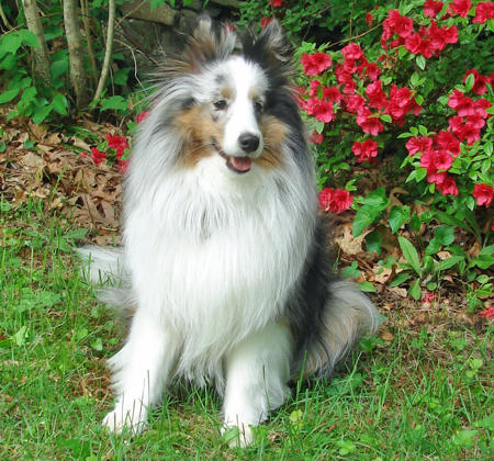 Bella the Shetland Sheepdog Pictures 762567