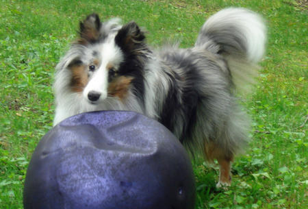 Bella the Shetland Sheepdog Pictures 762568