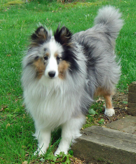Bella the Shetland Sheepdog Pictures 762569