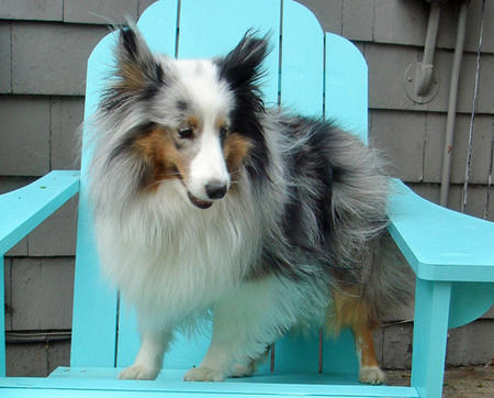 Bella the Shetland Sheepdog Pictures 762570