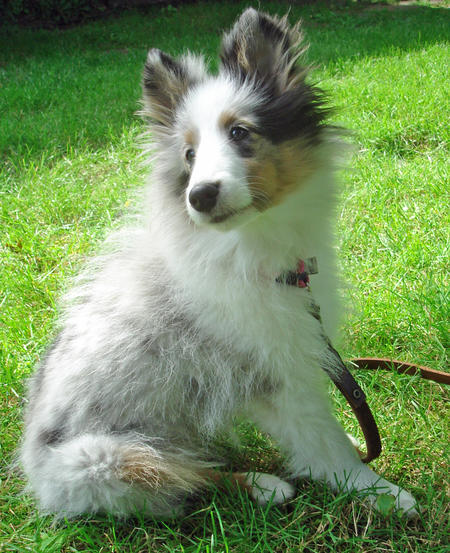 Bella the Shetland Sheepdog Pictures 762571